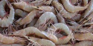 O governo esta a perder avultadas somas com a pesca ilegal em periodo de veda da captura do camaro
